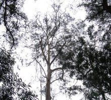 Eucalipto Smithii