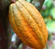 Cacao Virgen