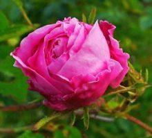 Rosa Centifolia